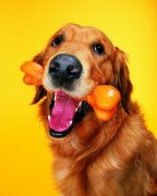 黄色宠物狗素材