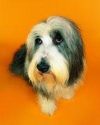 灰白色宠物狗