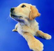 黄色宠物狗