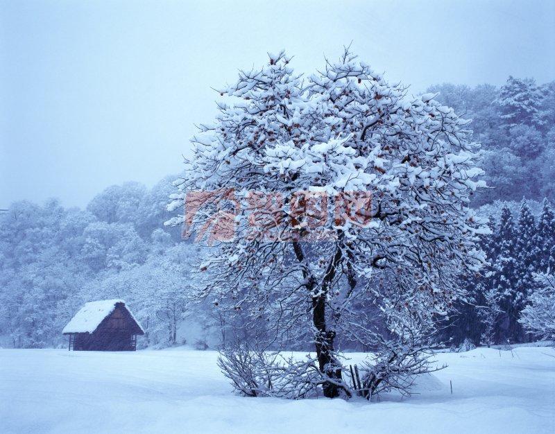说明:-天然树花 上一张图片:  高山松林 下一张图片:整齐白杨