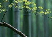 绿色竹叶澳门永利赌场网址