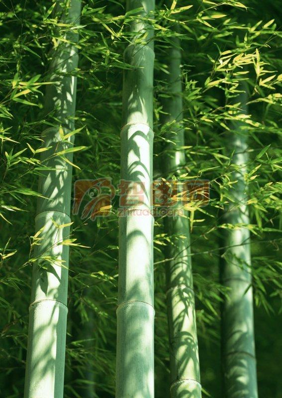色彩竹子简笔画