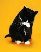 洗脸的猫咪