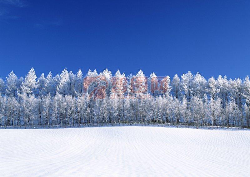 美丽雪景 高清冬天的雪景素材 洁白的雪景 说明:-一排松树 上一张图片