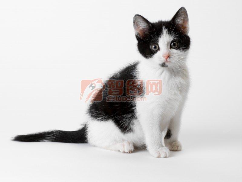 黑白相间猫咪