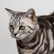 灰白色条纹猫咪澳门永利赌场网址02