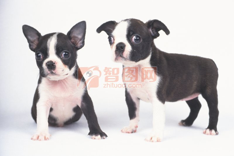 色狗美利坚_【jpg】黑白色宠物狗图片
