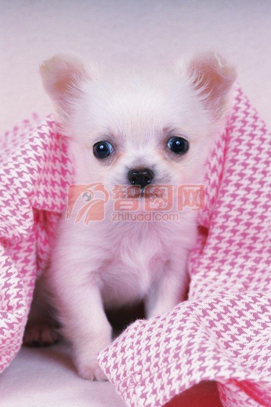 关键词: 高清宠物狗 粉色格子元素 白色宠物狗 宠物狗元素 宠物狗素材