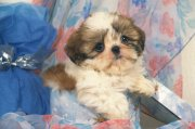 大脸可爱小狗