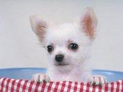 黑眼睛漂亮小狗