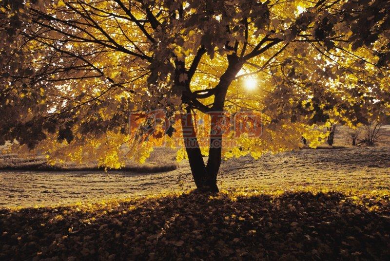 简笔画大树图片