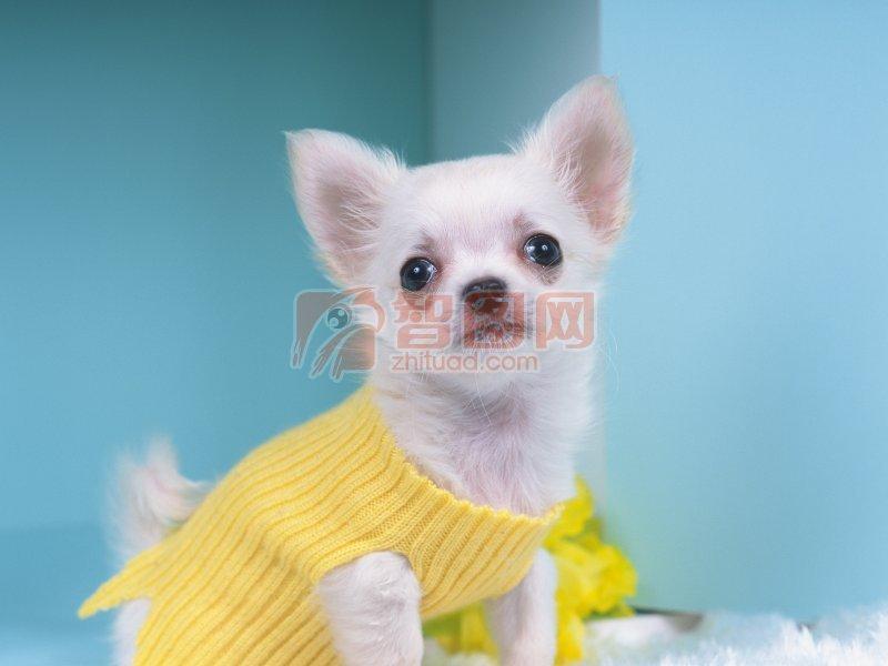 披衣服的小狗