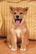 黄色吐舌头小狗