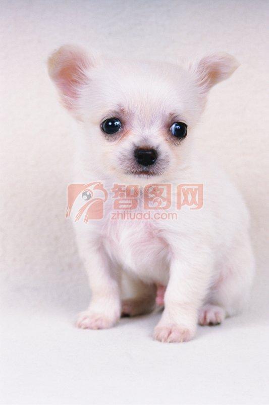 关键词: 白色小狗