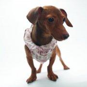 棕色宠物狗素材