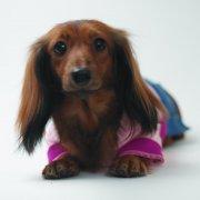 棕色宠物狗