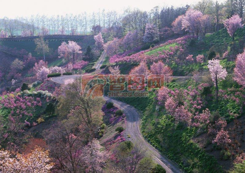 漫山遍野桃花