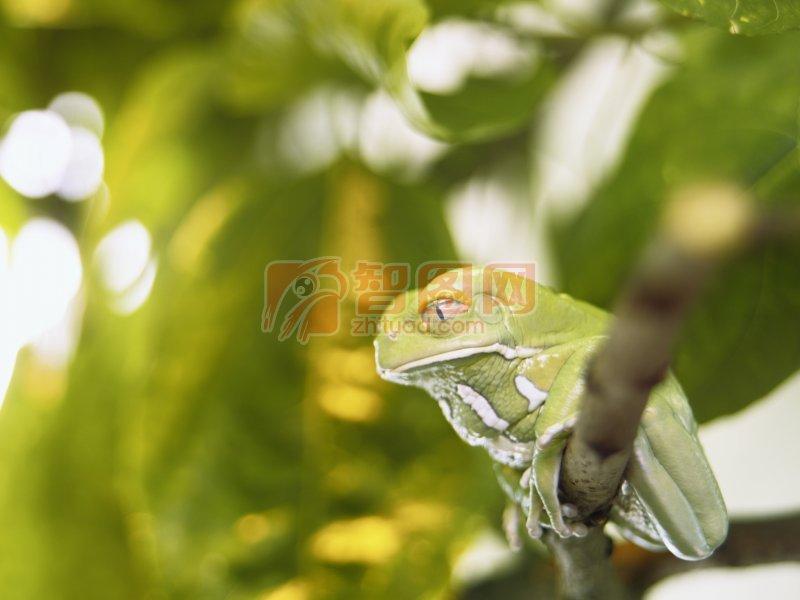 首页 摄影专区 生物世界 野生动物  关键词: 高清青蛙 绿色树叶 树枝