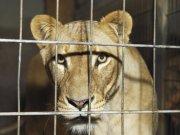 笼子里的狮子