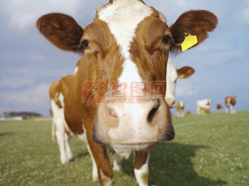 黄白色奶牛