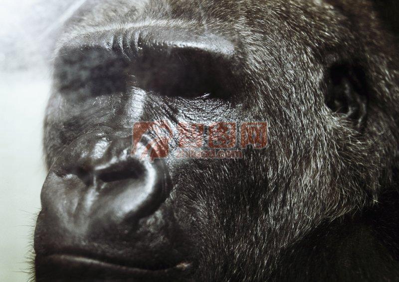 黑色大猩猩