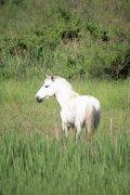 白色骏马摄影