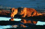 喝水的狮子