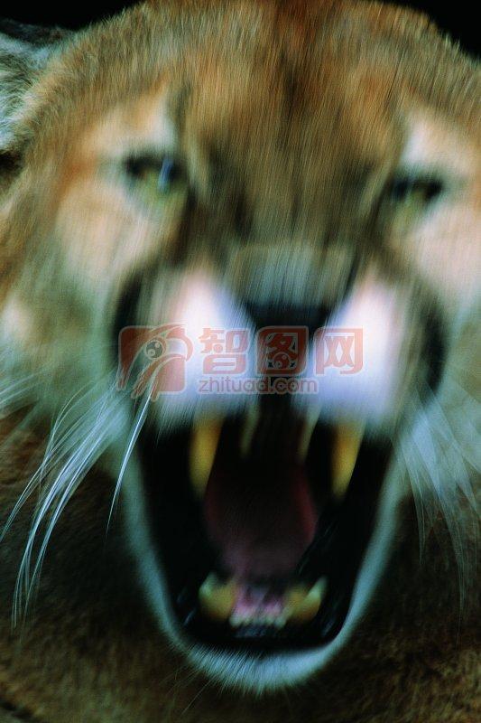 首页 摄影专区 生物世界 野生动物  关键词: 说明:-吼叫的猛虎 上一张