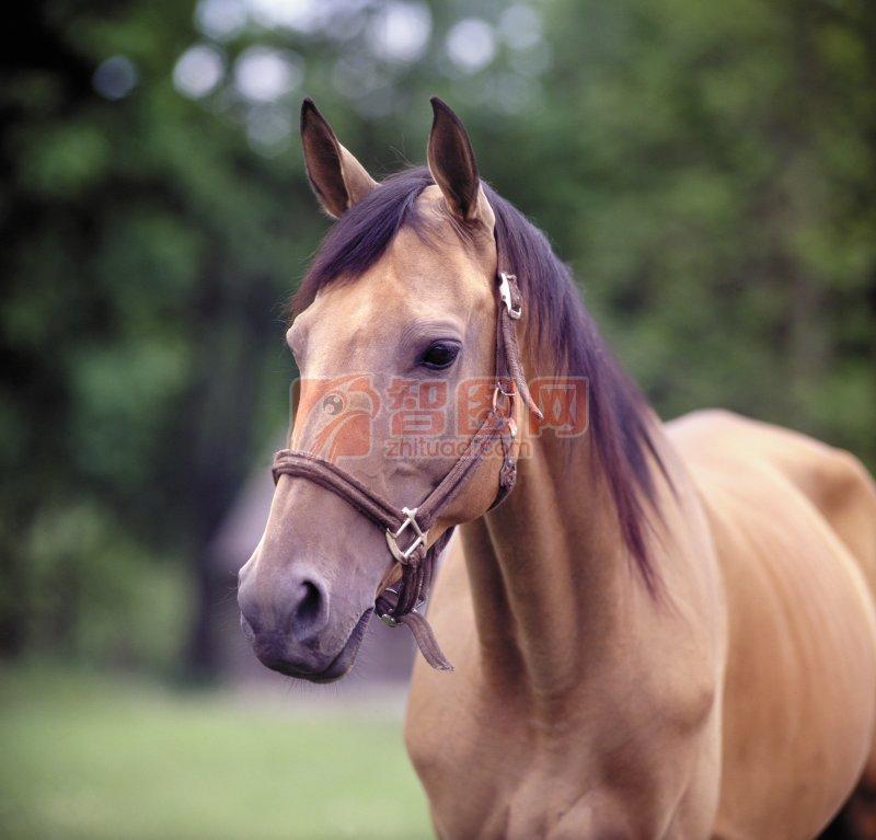 浅黄色马匹