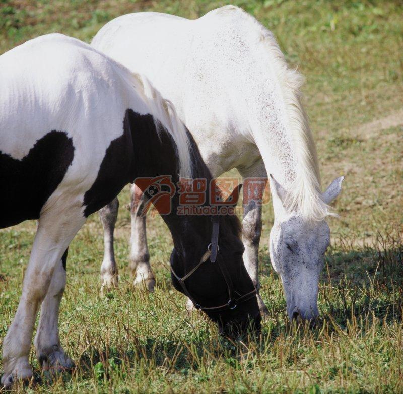 白色骏马素材