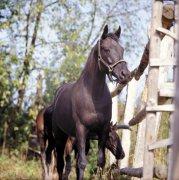 高清黑色骏马