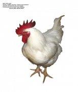 健壮白色公鸡