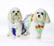 白色宠物狗素材13