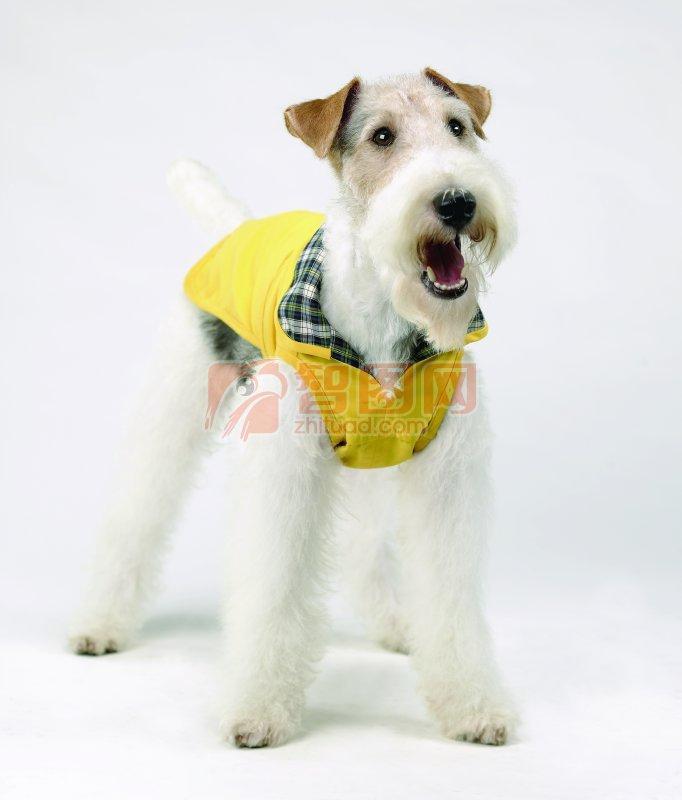 白色宠物狗素材09