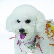 白色宠物狗素材08