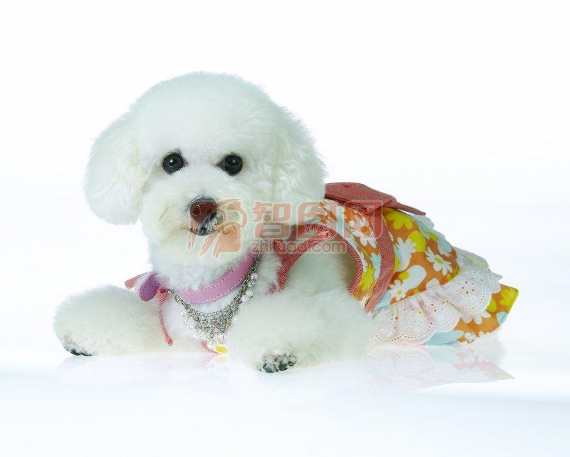 【jpg】白色宠物狗素材04
