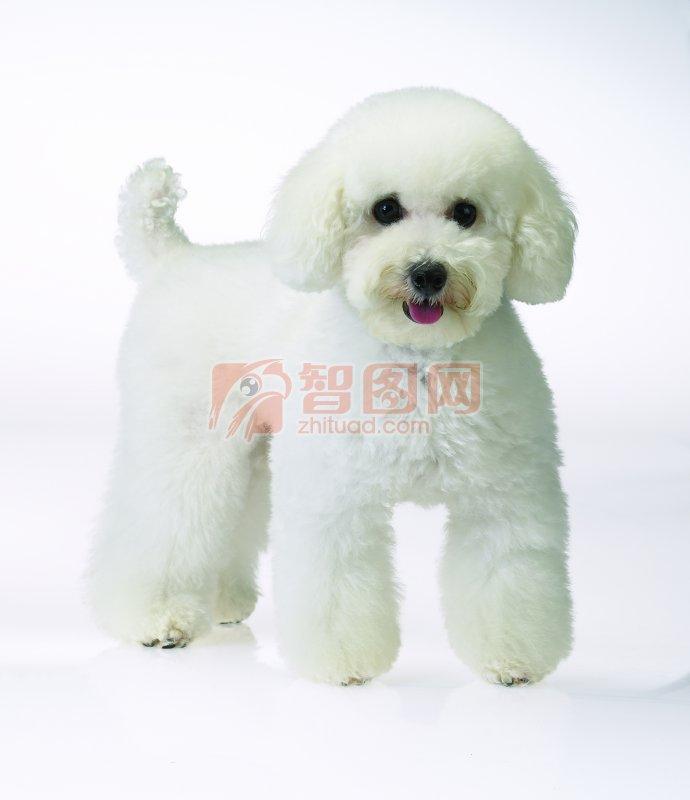 【jpg】白色绒毛小狗