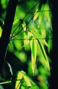 竹子葉子元素