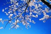 桃花攝影素材
