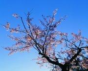 桃花元素攝影