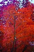 紅色楓葉攝影
