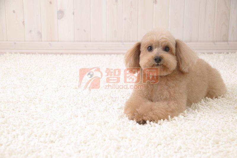 【jpg】趴着的宠物狗
