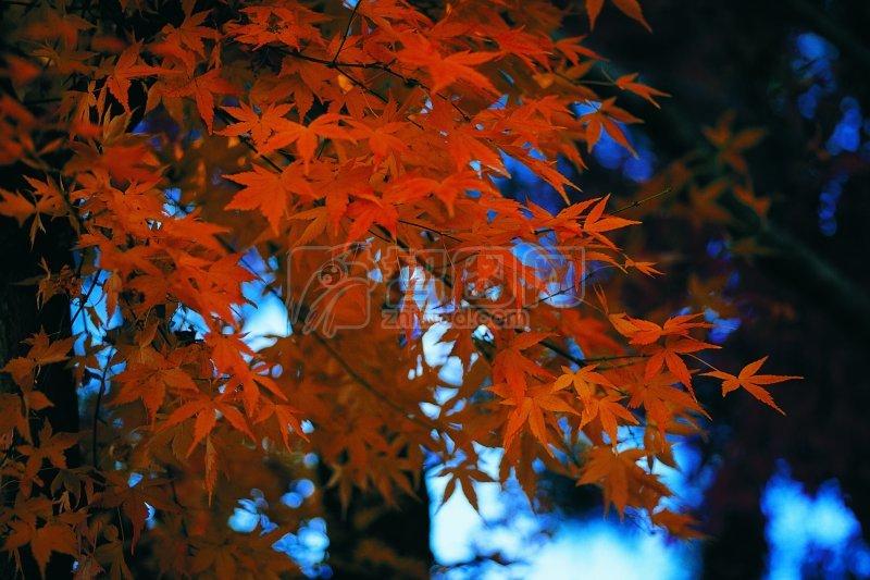 楓葉元素攝影