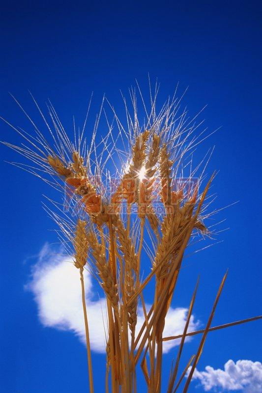 金色水稻素材