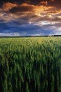 綠色水稻素材