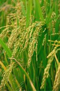 水稻素材攝影