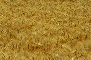 黃色草地攝影