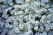 白色鮮花攝影