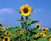 向日葵攝影 風景特寫 高清向日葵 向日葵花朵特寫 攝影圖片下載