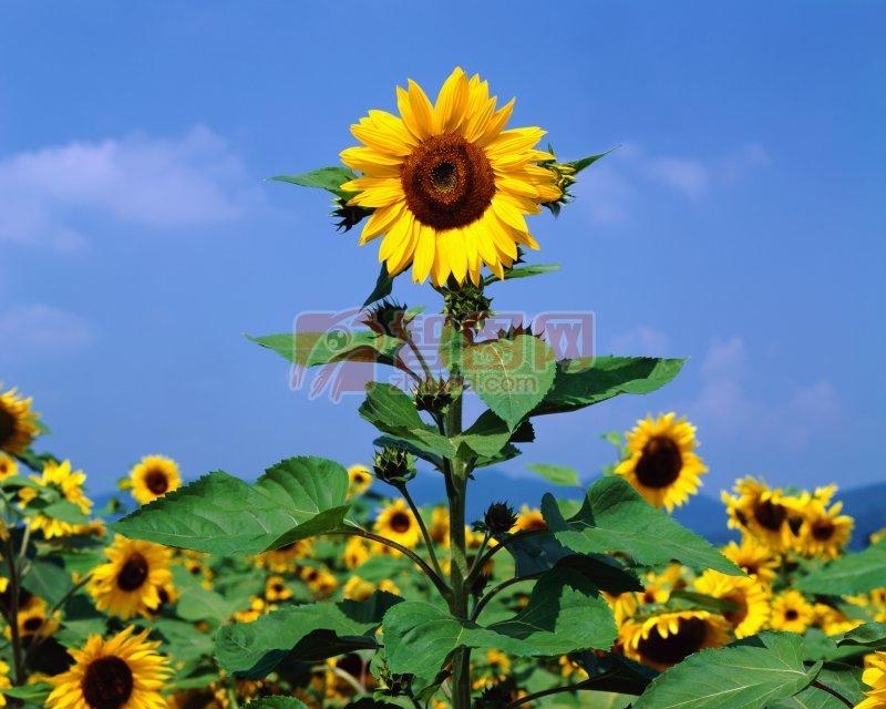 风景特写_【jpg】向日葵摄影 风景特写 高清向日葵 向日葵花朵特写 摄影图片